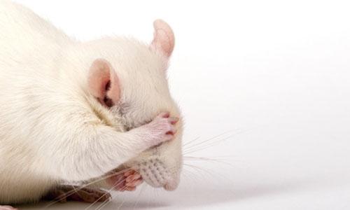 Des souris sourdes retrouvent l'ouïe, bientôt les humains ?