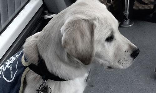 Refus de chiens guides : les taxis ont enfin compris ?