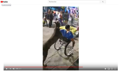 Un chien dressé à pousser le fauteuil de son maître